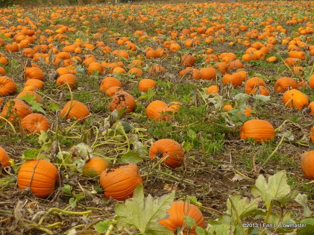 Our First Pumpkin Patch!