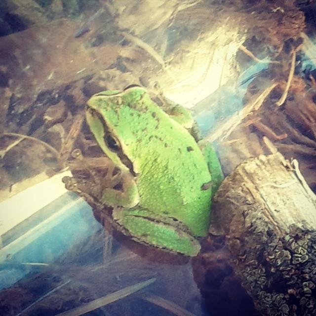 pacfitreefrog