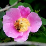 National Pollinator Week June 15 – 21, 2015