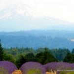 Our Lavender Festival Visit